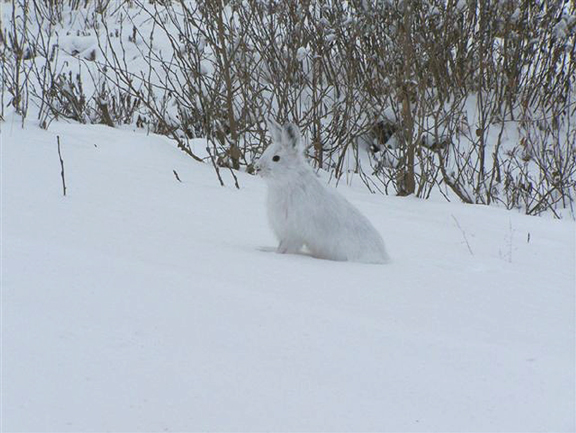A white hare stands motionless, almost invisible against the snow and bramble of an Alaskan winter.